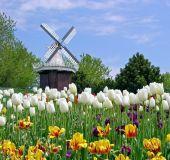 Gėlių laukai Olandijoje