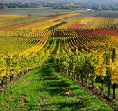 Vynuogynai Reino slėnyje