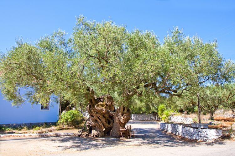 Vienas seniausių alyvmedžių
