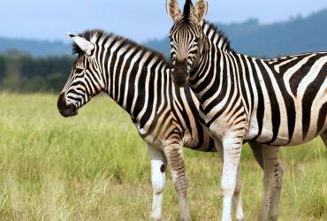 Zebrai Serengečio parke